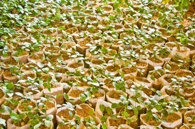Cinnamon seedlings