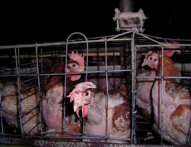 animal cruelty - modern caged farming practices